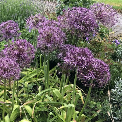 Allium christophii (25 bulbs, size 14+) - delivery from Aug 2021