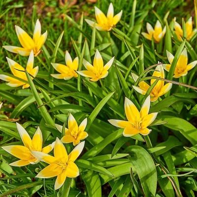 Tulipa tarda (50 bollen, mt 7-8)