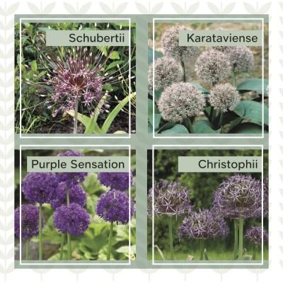 Mix Our specialties Allium 4x20 bloembollen, maat 14+