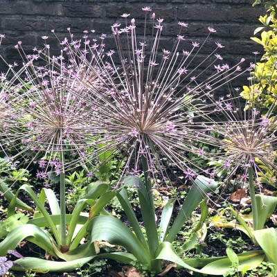 Allium schubertii (12 bulbs, size 14+) - delivery from Aug 2021